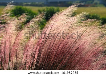 Pink Huhly Grass at marsh land in Florida. - stock photo