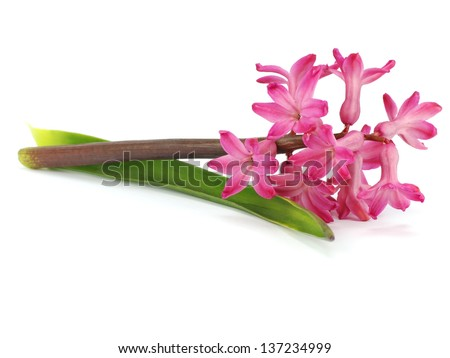 Pink hyacinth flower on a white background - stock photo