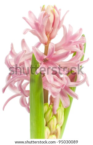 pink hyacinth flowers isolated on white background