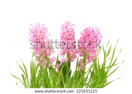 Pink hyacinth flowers on a white background - stock photo