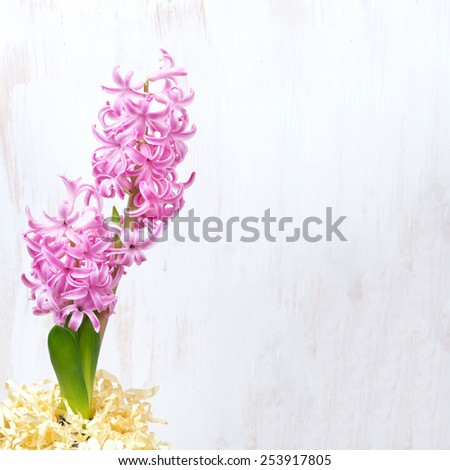 pink hyacinth on a white wooden background, close-up