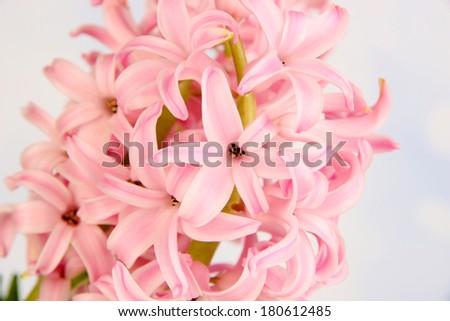 Pink hyacinth on bright background - stock photo