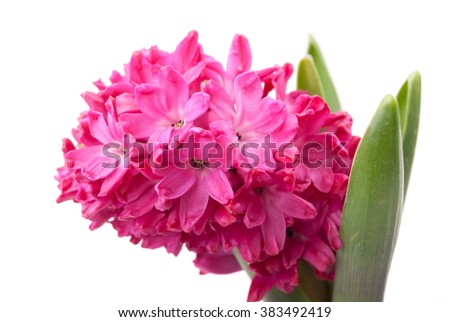 Pink hyacinth on white background. Image of love and beauty. Natural background and design element. - stock photo