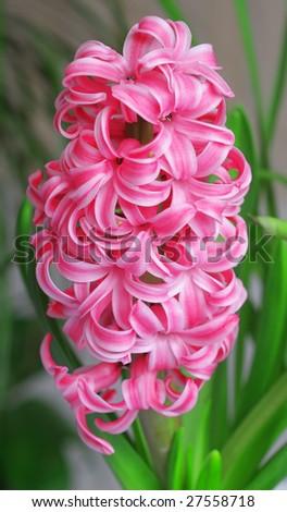 pink hyacinthus flowers - stock photo