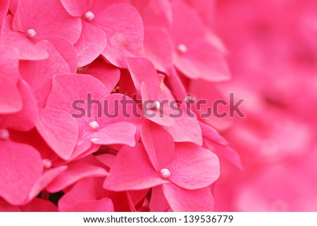 Pink hydrangea flower close up