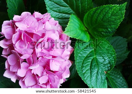 Pink Hydrangea flower head and dark green leaves (selective focus on flowers)