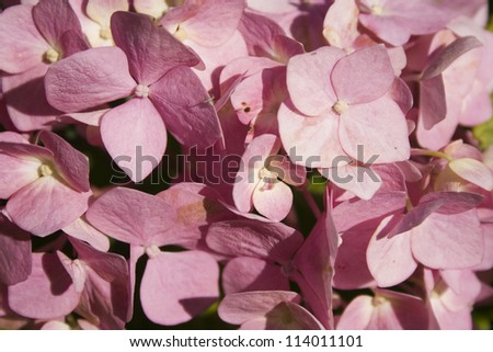 Pink hydrangea flowers background - stock photo