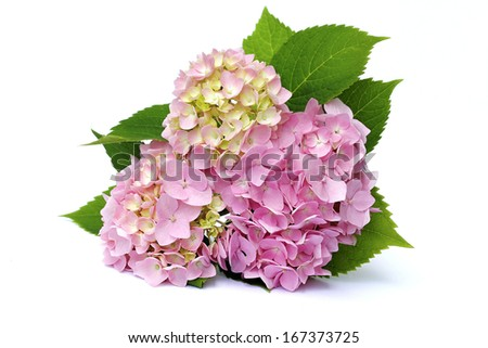 pink hydrangea on a white background