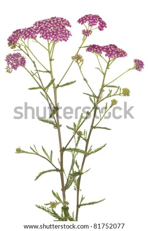 pink inflorescence herb(Achillea millefolium)on white background - stock photo
