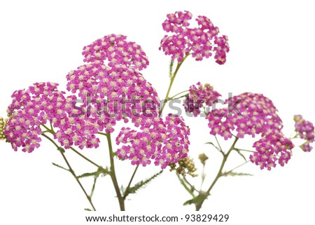 pink inflorescence herb (Achillea millefolium) on white background - stock photo