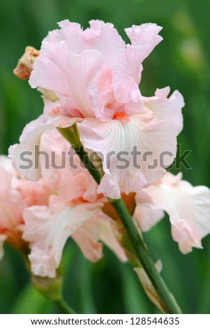 Pink irises blossoming in a garden, Giardino dell' Iris in Florence, Italy - stock photo