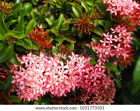 Pink ixora flowerixora chinensispink spike flower stock photo pink ixora flowerixora chinensis spike flower ixora blooming in garden mightylinksfo Image collections