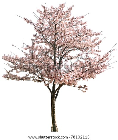 Pink Japanese apricot flower isolated on white in winter - stock photo