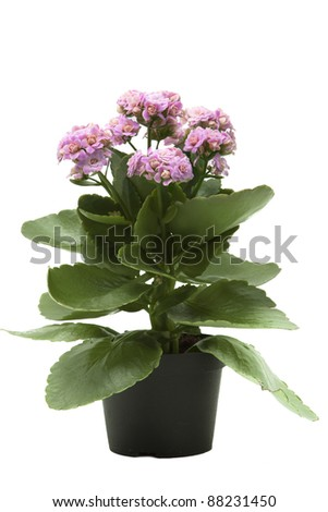 pink kalanchoe flower plant isolated on white background