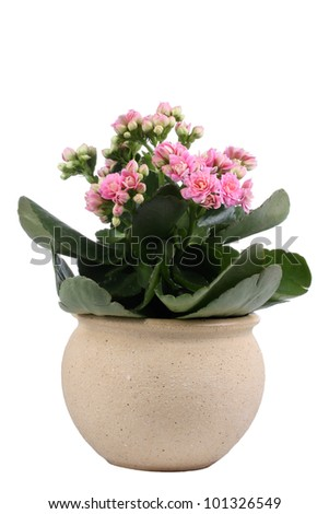 Pink  Kalanchoe Plant in pottery pot - stock photo