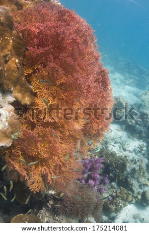 Pink knotted sea fan (Melithaea ochracea) at Lipe island