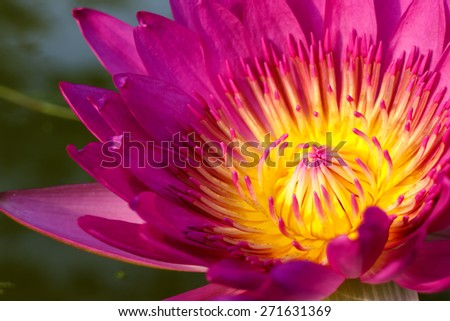 pink leaf lotus flower on water photo stock,water lily