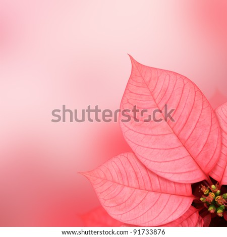 Pink leaf (Poinsettia) on pink background - stock photo