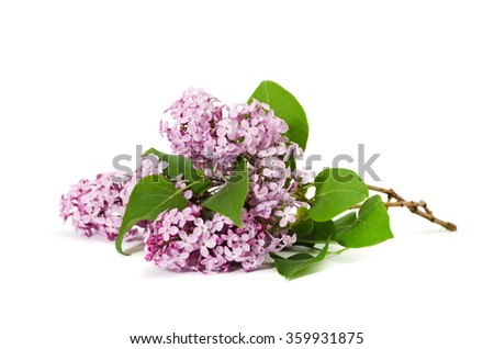 Pink lilac branch isolated on white background - stock photo