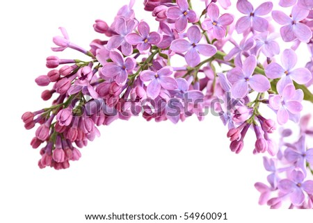 Pink lilac flower twig isolated on white - stock photo