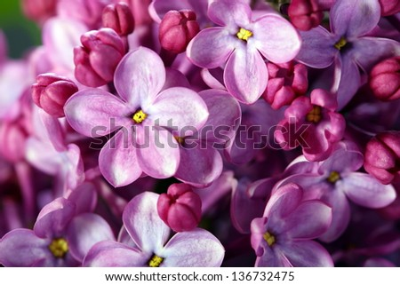 Pink lilac flower with five petals close-up. - stock photo