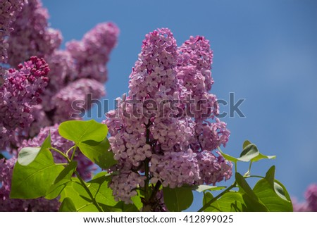 Pink lilac flowers on spring Syringa vulgaris  is a species of flowering plant in the olive family Oleaceae, native to the Balkan Peninsula, where it grows on rocky hills. - stock photo