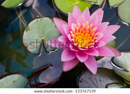 Pink lilies and lotus leaf on water. - stock photo
