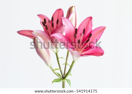 Pink lilies bunch isolated on white background