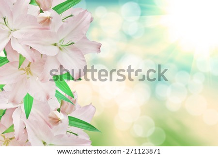 pink lilies close up