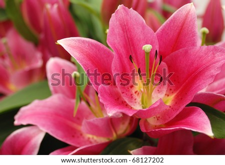Pink lilies in the Keukenhof park - stock photo