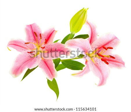 Pink lilies (lily / Lilium) isolated on white. Carefully shot so that it is completely floating in white background for ease of use. - stock photo