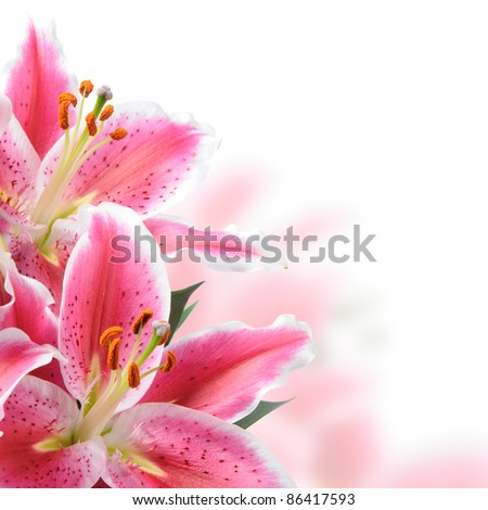 Pink lilies on a white background - stock photo