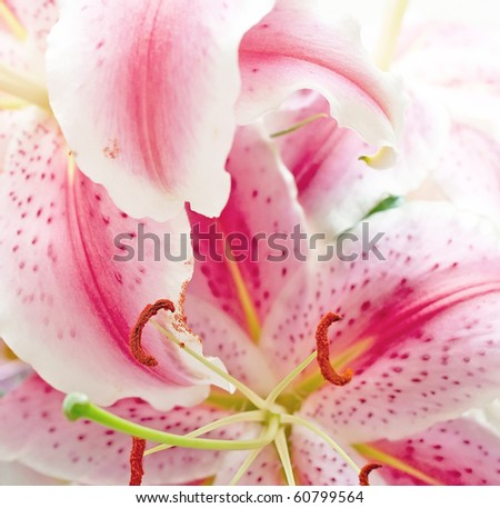 Pink lilies on abstract background. Shallow DOF - stock photo