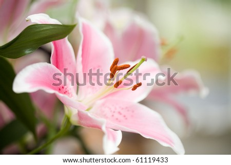 Pink lilies shot in beautiful natural light - stock photo