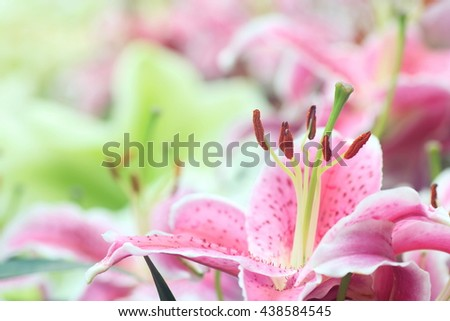 Pink lilium Sorbonne in full bloom, with close up to the stigma, filament and stamens,  - stock photo