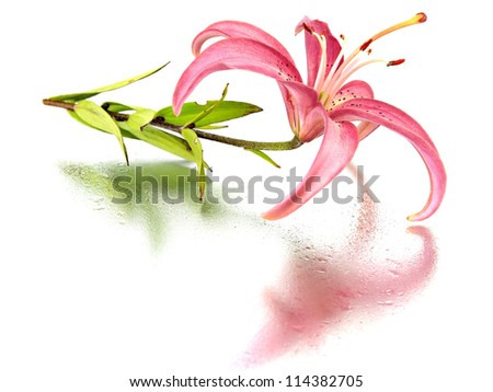 pink lilly flower on a white background with water drops - stock photo