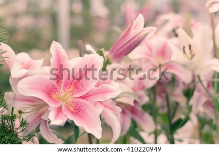 Pink lilly in the garden and tone color - stock photo
