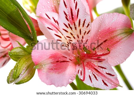 pink lilly isolated on white background - stock photo