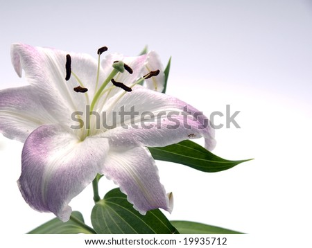 pink lilly  on white background - stock photo