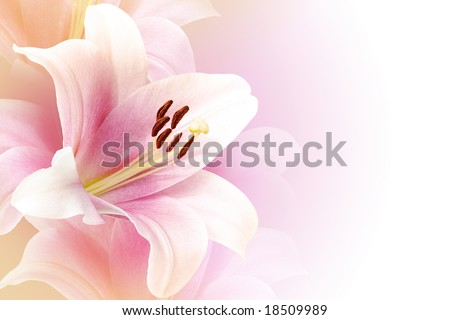 Pink lily background with copy space - stock photo