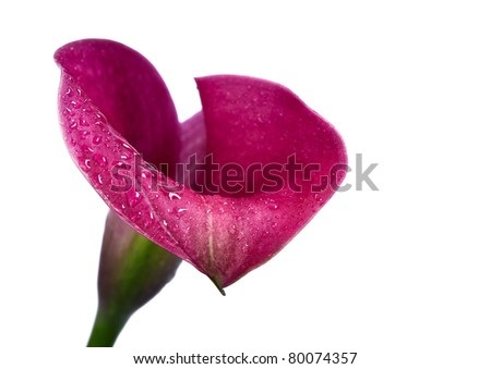 Pink Lily Bloom Isolated on White - stock photo