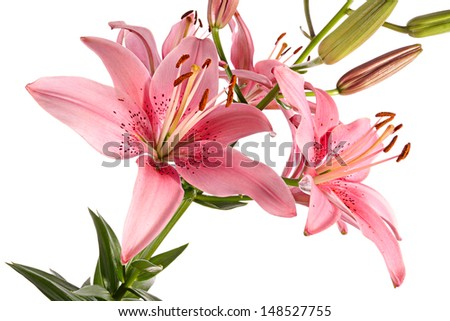 Pink lily close-up isolated on a white background