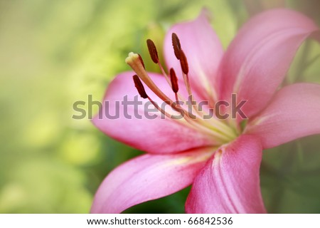 Pink lily closeup in mist - stock photo