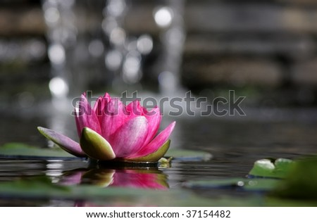 Pink lily floating on the water with small waterfall in the background. - stock photo