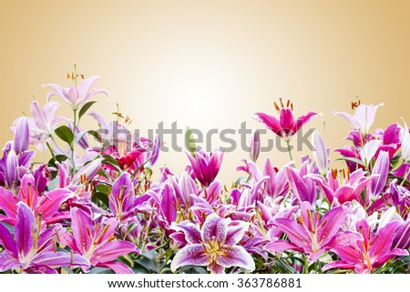 pink lily flower in yellow background