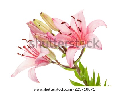 Pink lily flower. Isolated on white background - stock photo