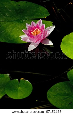 Pink lily flower lotus picture - stock photo