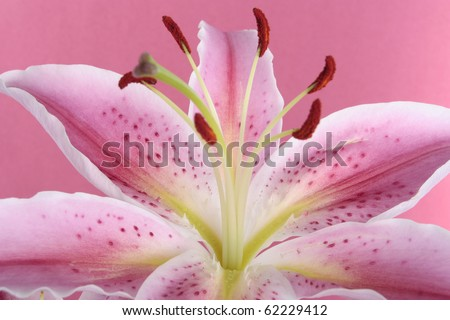 Pink lily flower over pink background - stock photo