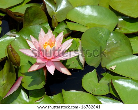 Pink lily in a pond atlanta Botanical Gardens
