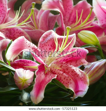 Pink lily in garden - stock photo